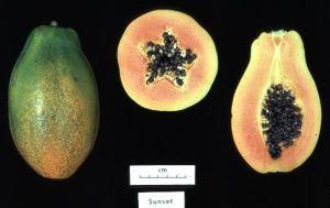 MOTSTÅNDSKRAFTIG. Sunset-papayan genmodifierades för att stå emot det ringspot-virus som hotade att ödelägga Hawaiis papayaodlingar (USDA via Wikimedia).